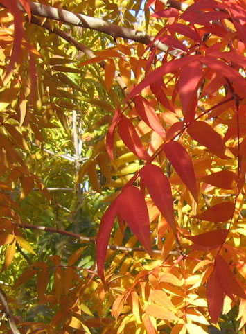 Red Push Pistache Tree Features